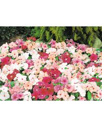 Vinca Pacifica Mix 264 szt