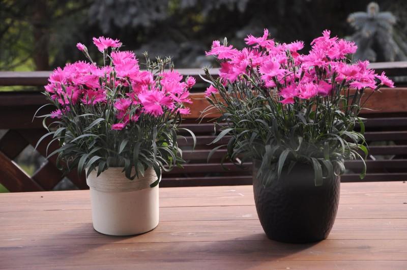 Goździk Suntory Dianthus Pink