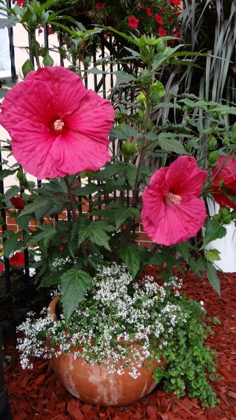 Hibiskus Summerific kwitnie!