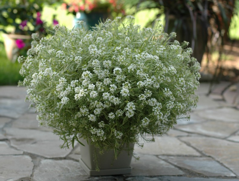 Lobularia Snow Princess®