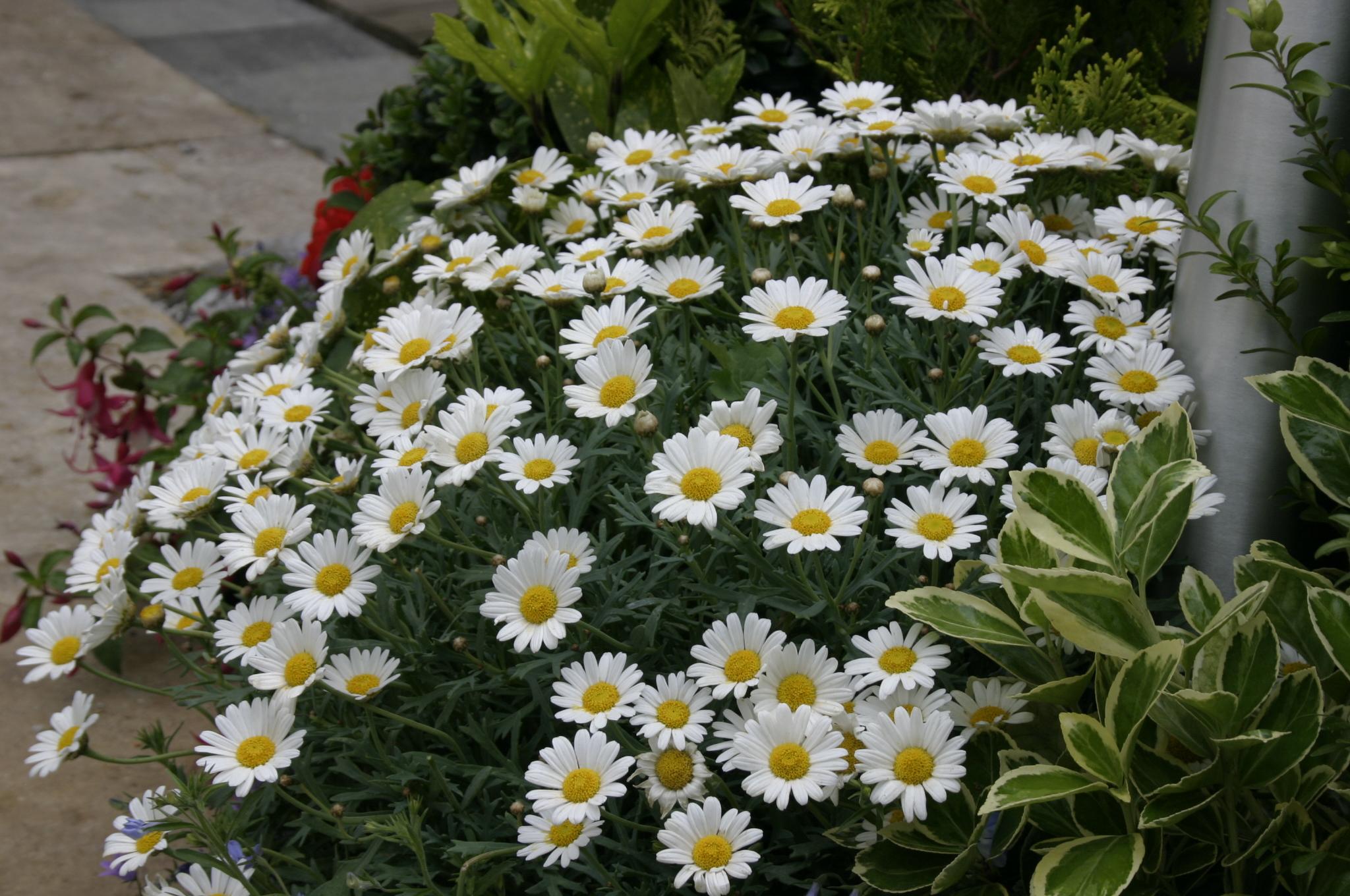 Argyranthemum (Złocień krzewiasty)