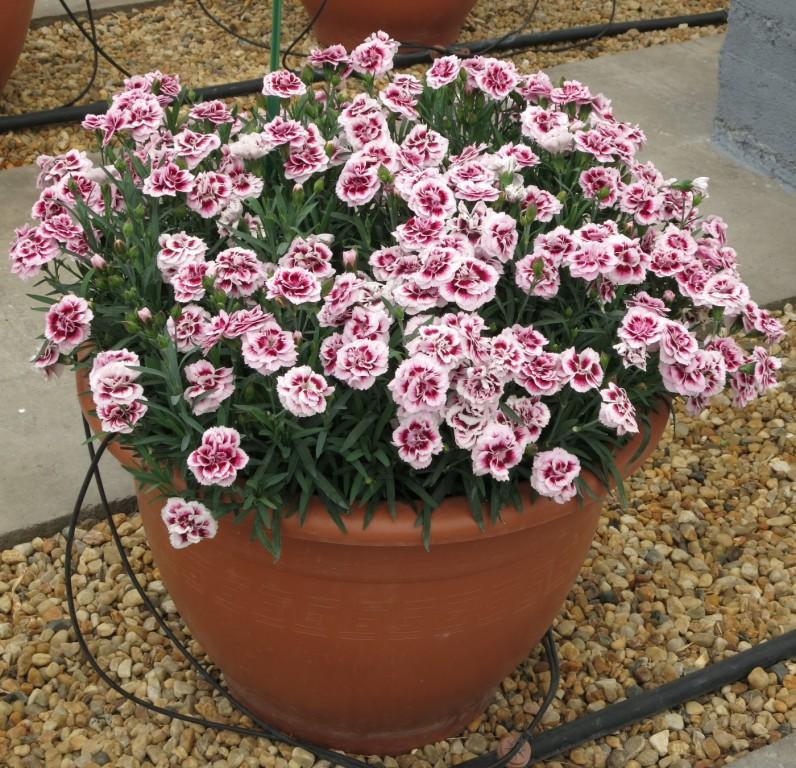 Dianthus seria Dinamic