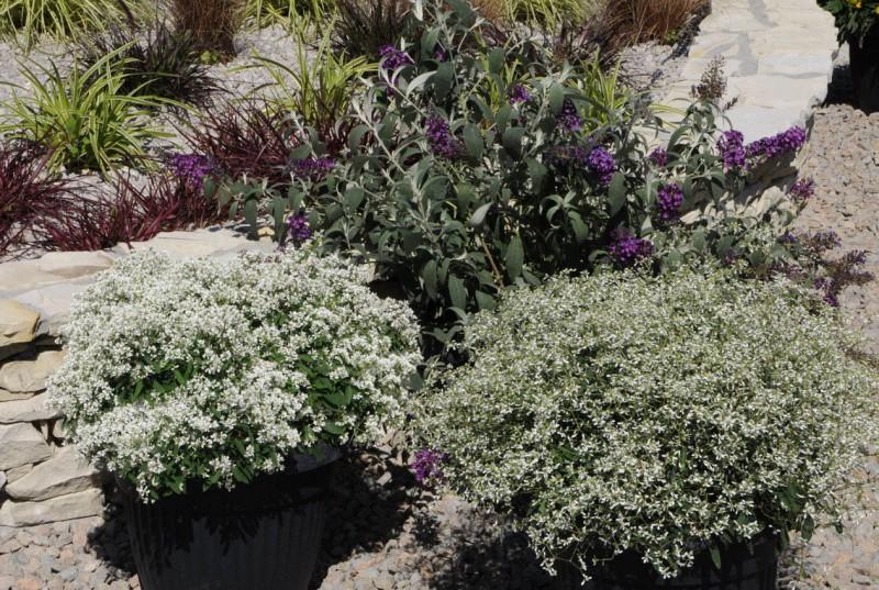 Euphorbia (Wilczomlecz)