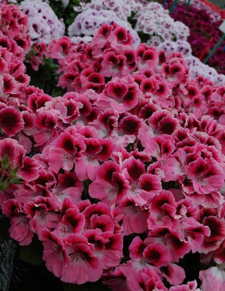 Pelargonium grandiflorum (pelargonia angielska)