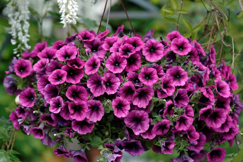 Petunia (petunia kaskadowa)