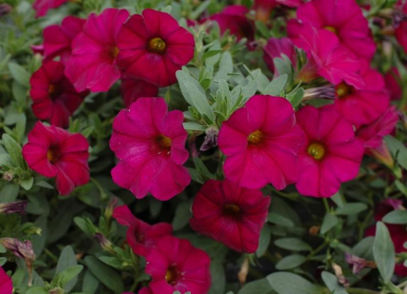Petunia x Calibrachoa