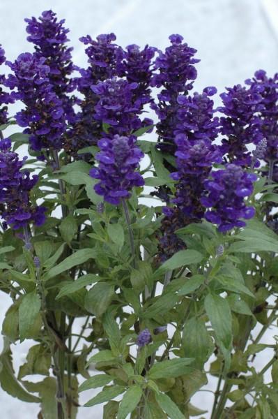 Salvia (szałwia)