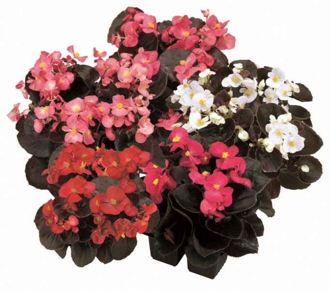 Begonia semperflorens Senator (Begonia stale kwitnąca)