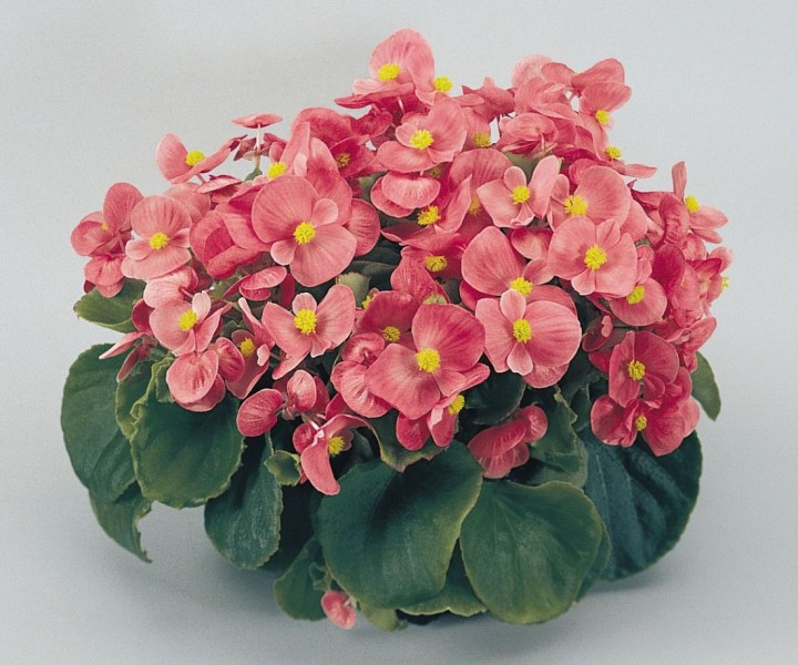 Begonia semperflorens Super Olympia (Begonia stale kwitnąca)