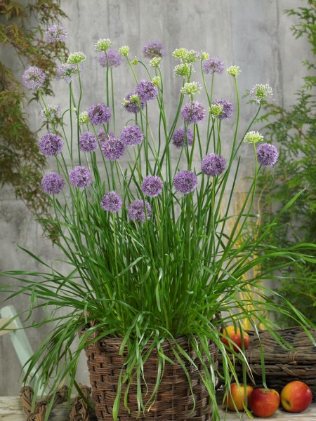 Allium (czosnek)