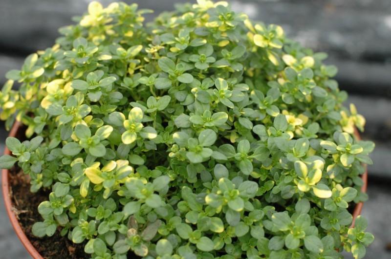 Thymus (tymianek)