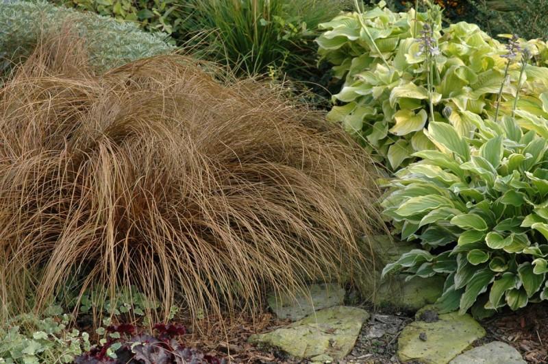 Carex - turzyca