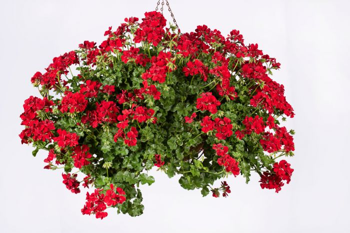Pelargonia Becky - Pelargonium peltatum (pelargonia bluszczolistna) -  Rośliny balkonowe i rabatowe - Rośliny