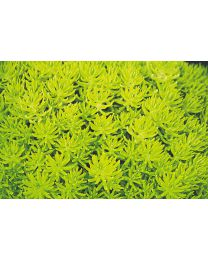 Sedum Yellow Bouquetta