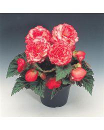 Begonia Nonstop Rose petticoat 264 szt