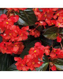 Begonia Big Deluxxe Big DeluXXe RED BRONZE LEAF