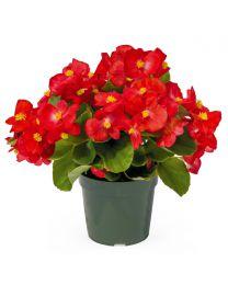 Begonia Big Deluxxe Big DeluXXe RED GREEN LEAF