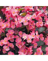 Begonia Big Deluxxe Big DeluXXe ROSE BRONZE LEAF