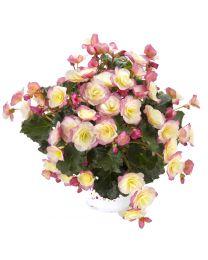 Begonia Cottage Glory Bicolor
