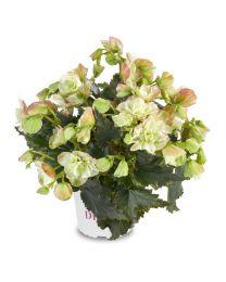 Begonia Cottage Frivola Magic