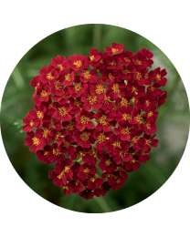 Achillea Desert EVE Red