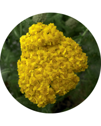 Achillea Desert EVE Yellow