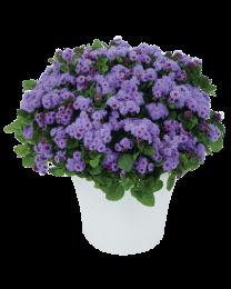 Ageratum Violet