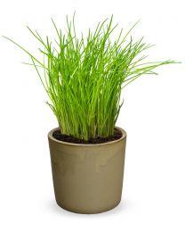 "Allium Schoenoprasum ""Prado"" 150 szt"