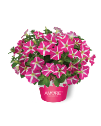 Petunia Amore Pink Heart