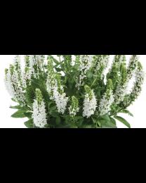 Salvia Apex White
