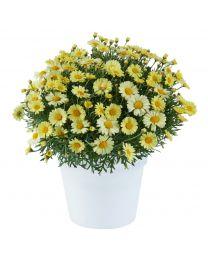 Argyranthemum Lollies Buttermint