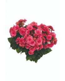 Begonia Barkos BERSEBA PINK