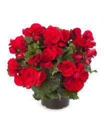 Begonia Barkos BERSEBA RED