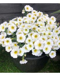 Beautical Pearl White