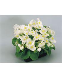 Begonia semperflorens Super Olympia White 264 szt