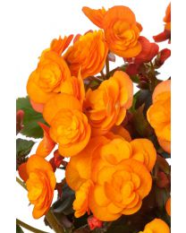 Begonia Solenia Catrin