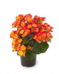 Begonia Ilona CARNEVAL