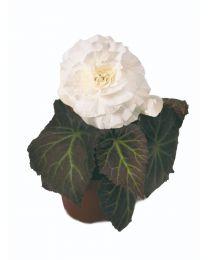 Begonia Mocca White 84 szt