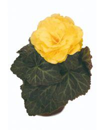 Begonia Mocca Yellow 84 szt