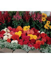 Begonia Nonstop Mix 264 szt