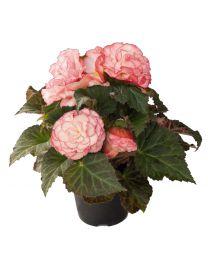 Begonia Nonstop Rose petticoat 84 szt
