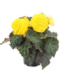 Begonia Nonstop Yellow 84 szt