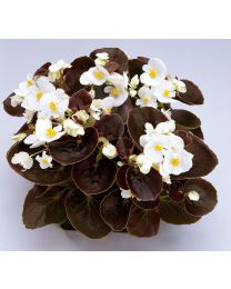 Begonia semperflorens Senator White 264 szt