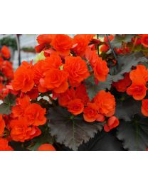 Begonia Solenia Chocolate Orange