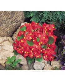 Begonia semperflorens Super Olympia Red 264 szt