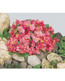 Begonia semperflorens Super Olympia Rose 264 szt