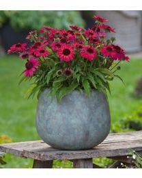 Echinacea Sunmagic Vintage Red