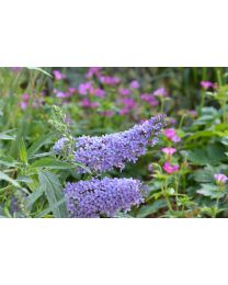 Buddleja Buzz Sky Blue