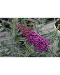 Buddleja Buzz Magenta Improved