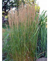 Calamagrostis Karl Foester